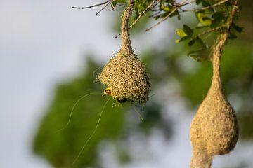 Vogel bouwt nest in Sri Lanka van Julie Brunsting