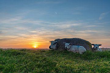 Lammetjes Texel zonsondergang van Texel360Fotografie Richard Heerschap