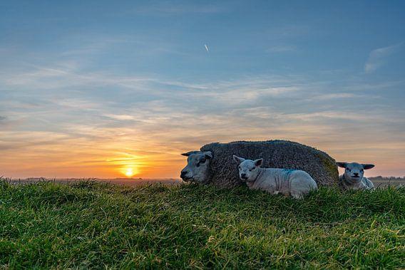 Lammetjes Texel zonsondergang