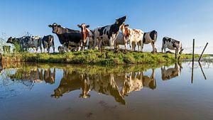 Koeien bij de slootkant van