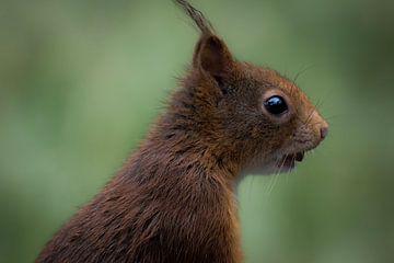 Squirrel meets nut van Elise Habermehl