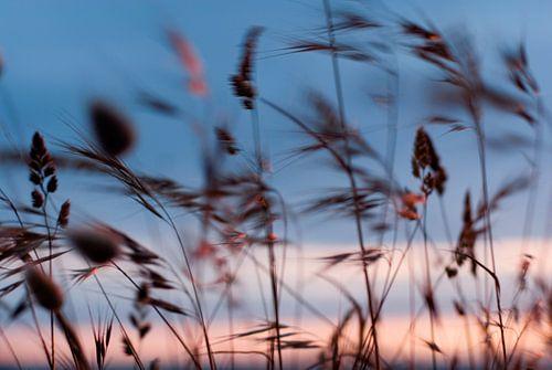 Wuivende grashalmen aan de kust, met zonsondergang