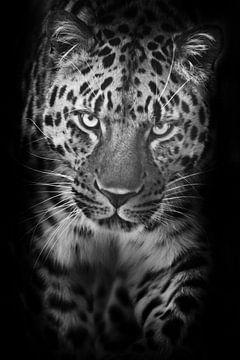 Vertikales Porträt eines schwarz-weißen Leoparden, der in der Nacht auf Sie zugeht, mit geneigtem Ko von Michael Semenov