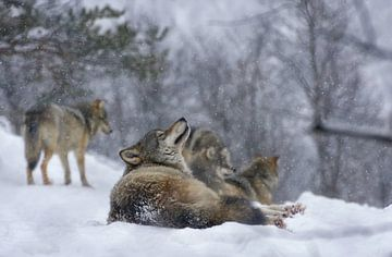 Wolf im Schnee von Anam Nàdar