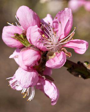 Nektarine (Prunus persica) von Alexander Ludwig