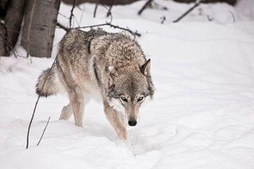 Le loup marche la tête baissée. sur Michael Semenov