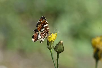 Schmetterling-Mittagessen von Hans Goudriaan