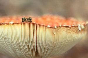 Op een grote paddenstoel - kikker van
