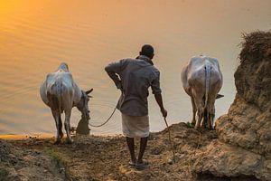 Ossenhoeder laat zijn dieren drinken, Nepal