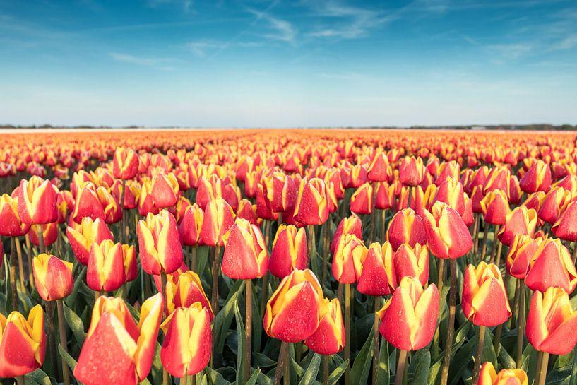 Dutch Tulips van Chris van Kan