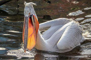pelikaan Pelecanidae von victor truyts