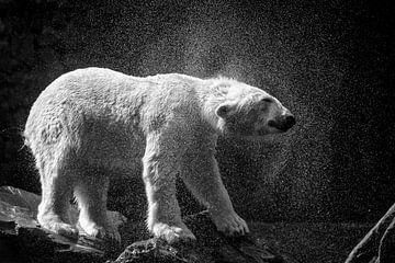 IJsbeer schudt het water van zich af. van Michar Peppenster