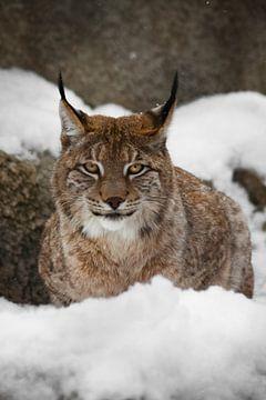 Een mooie en sterke wilde lynx zit rustig vol in de sneeuw en kijkt je met grote, heldere, lachende  van Michael Semenov