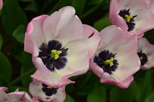 Tulipa Soft Touch