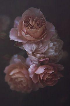 Rosa Englische Rosen von Marina de Wit
