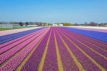 Luchtfoto van bloeiende tulpen op het platteland van Noord Holland in Nederland van Nisangha Masselink