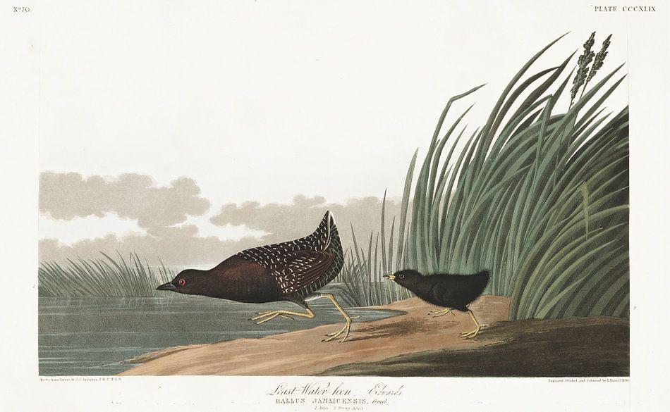 Zwarte Dwergral van Birds of America