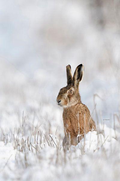 Brown Hare / European Hare ( Lepus europaeus ) in winter van wunderbare Erde