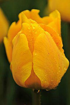 Gele Tulp van Marjan Kooistra