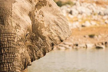 Een olifant in het wild