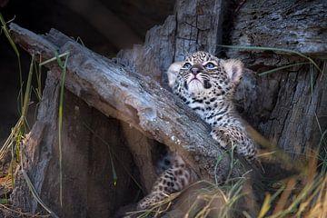 Luipaard welpje kijkt op van Jos van Bommel