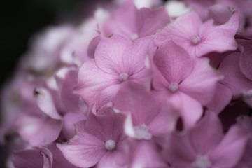 zacht lila hortensia van