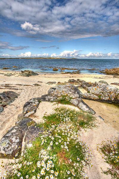 Madeliefjes tegen rotsen aan Galway Bay, Ierland