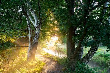 Birke im Morgenlicht von Tamara  Verhoog