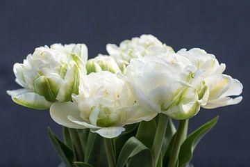 Weiße Pfingstrosen-Tulpen auf dunklem Hintergrund von Idema Media
