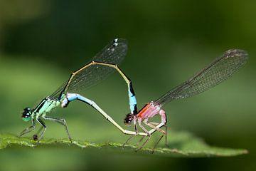 Zwei Laternen Libelle von Maurice de vries