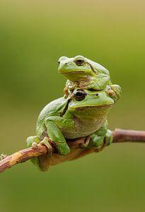 Baumfrosch mit Jungtier auf Ast in Grün