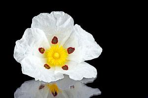 Gum rockrose - Cistus ladanifer - in de velden van Alentejo Portugal van