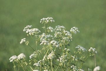 Witte schermbloemen von Rob Hendriks