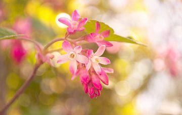 Roze bloemen van