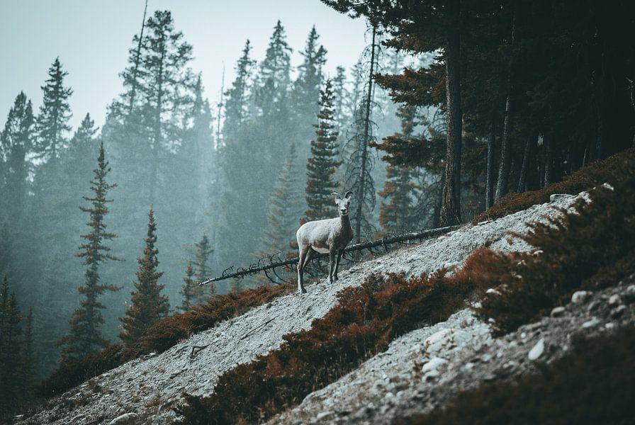 Berg geit van Jip van Bodegom