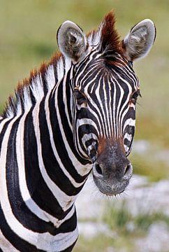 Zebra - Africa wildlife van W. Woyke