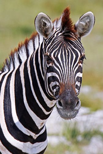 Zebra - Africa wildlife