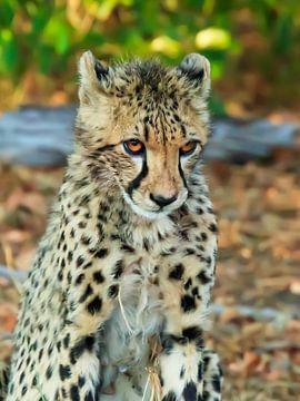 Verlegen Cheetah, 19-11-2018, van Frans  de Best