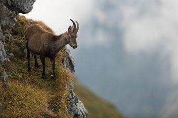 Steenbok (Capra ibex), stenen geit op een richel in een steile wand in de Alpen, met uitzicht op het van wunderbare Erde