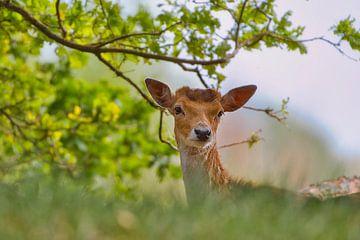 Nieuwsgierig hert van Wendy Tellier - Vastenhouw
