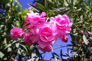 Oleanderblüte von Berthold Werner