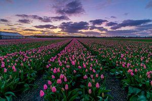 Tulpen van Holland