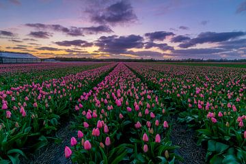Tulpen van Holland van Ardi Mulder