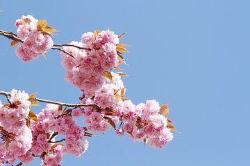 Japanse bloeiende kers II van Anja Bagunk