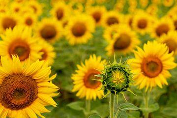 Zonnebloemen von Maerten Prins