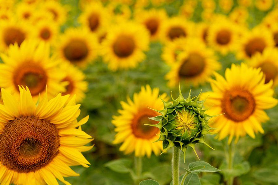 Zonnebloemen van Maerten Prins