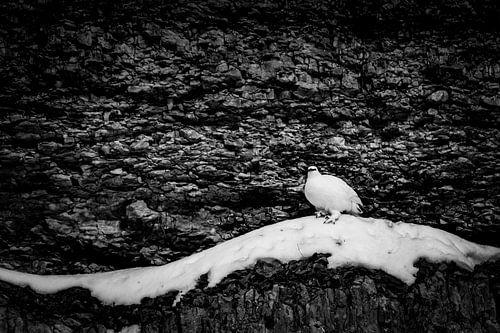 Sneeuwhoen in de rotsen