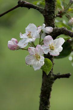 Appelboom bloemen van s Zenki