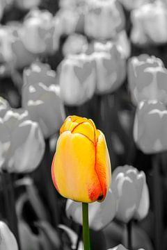 Geel Rode Tulp van Michel Groen
