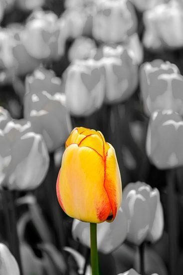 Geel Rode Tulp
